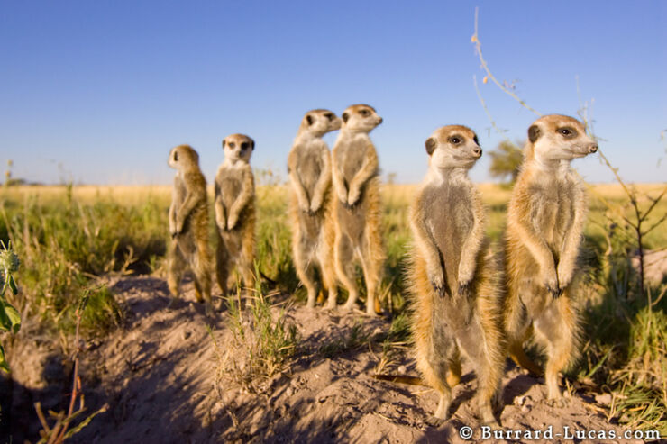 group_of_meerkats