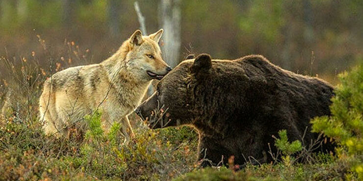 wolf-bear-friendship