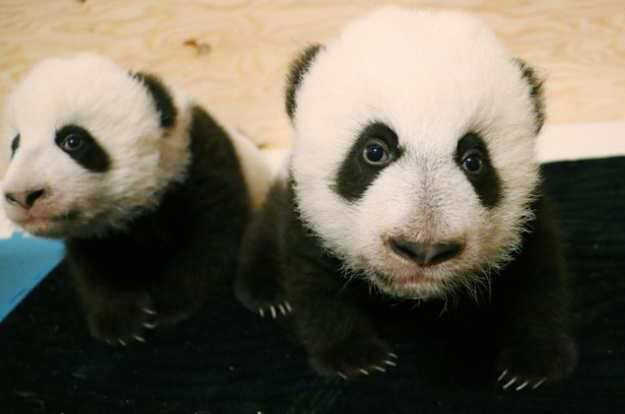 baby-giant-pandas-at-the-100-day-mark-are-pictured-in-this-u1