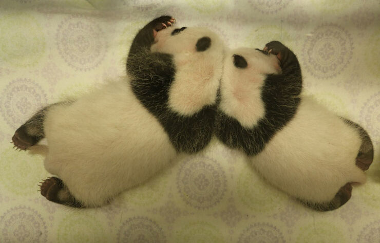 Toronto-Zoo-Giant-Panda-Cubs-at-One-Month