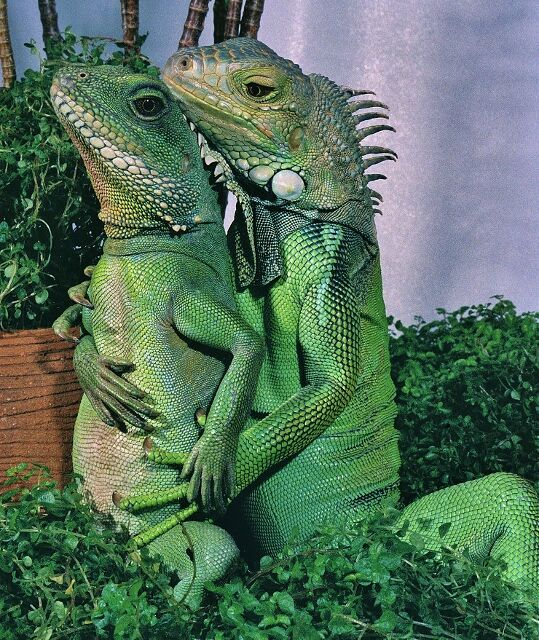 romance_fifi_by_henrylizardlover_web_small