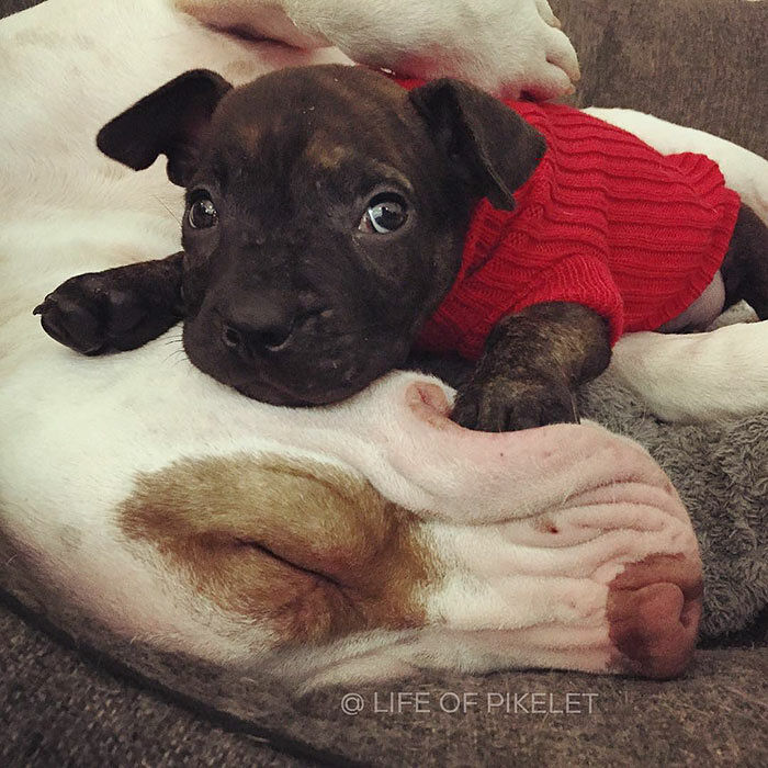 rescue-dogs-new-puppy-best-friends-potato-life-of-pikelet-a7