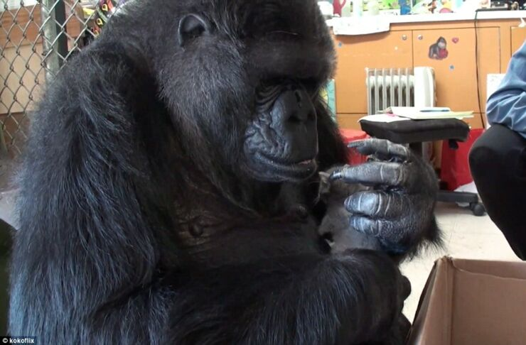 2D6FE23100000578-3273726-Loving_nature_The_gorilla_stroked_the_grey_cat_with_her_index_fi-m-25_1444907901082