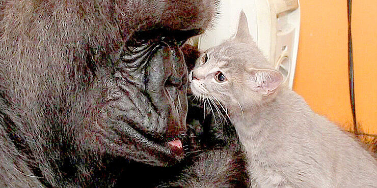 Koko-The-Gorilla-Is-Super-Excited-When-She-Gets-To-Adopt-Two-Adorable-Kittens