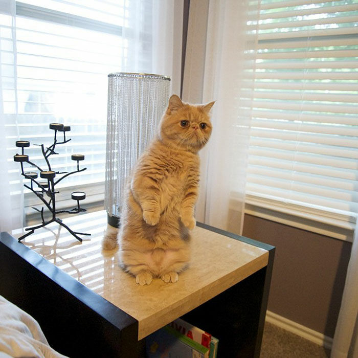 cat-standing-on-2-legs-george-8