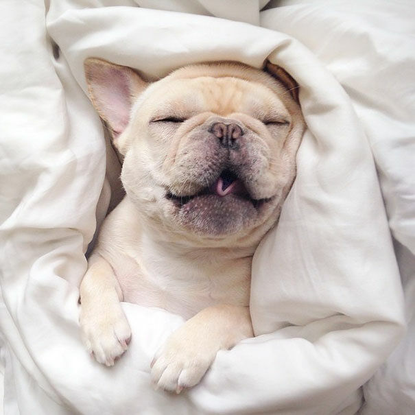 cute-bulldog-smiling-sleeping-dog-narcoleptic-frenchiebutt-millo-23