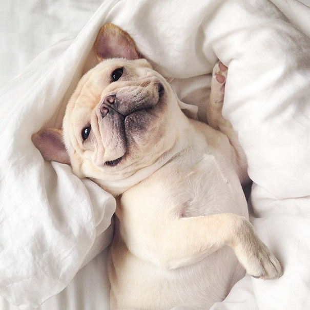 cute-bulldog-smiling-sleeping-dog-narcoleptic-frenchiebutt-millo-26