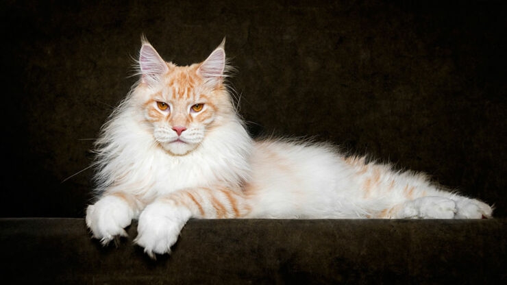 The Majesty Of A Maine Coon Cat - 01.