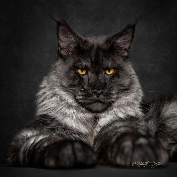 maine coon cat pictures - 01.