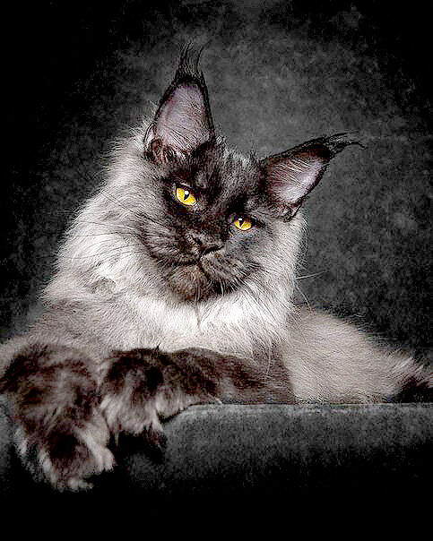 The Maine Coon Cat: Robert Sijka's Beautifuly Majestic Photos