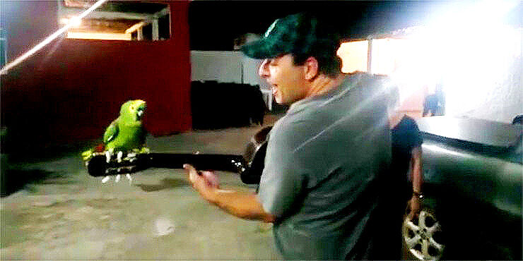 Amazon-Parrot-Duets-With-His-Human-Guitarist-For-An-Amusing-Interspecies-Medley