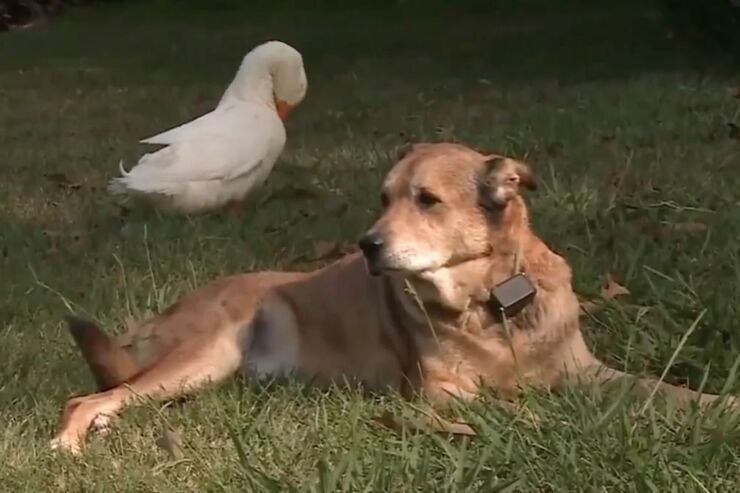 Duck-forms-unlikely-friendship-with-depressed-dog-in-Tennessee