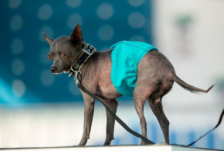 Worlds Ugliest Dog Contest 10.