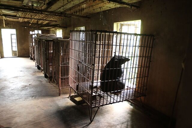 Four paws Bear Bile Farming in Vietnam 02.