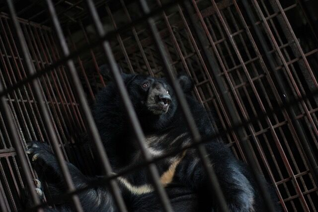 Four paws Bear Bile Farming in Vietnam 03.
