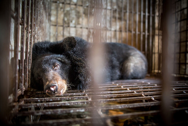 Four paws Bear Bile Farming in Vietnam 05.