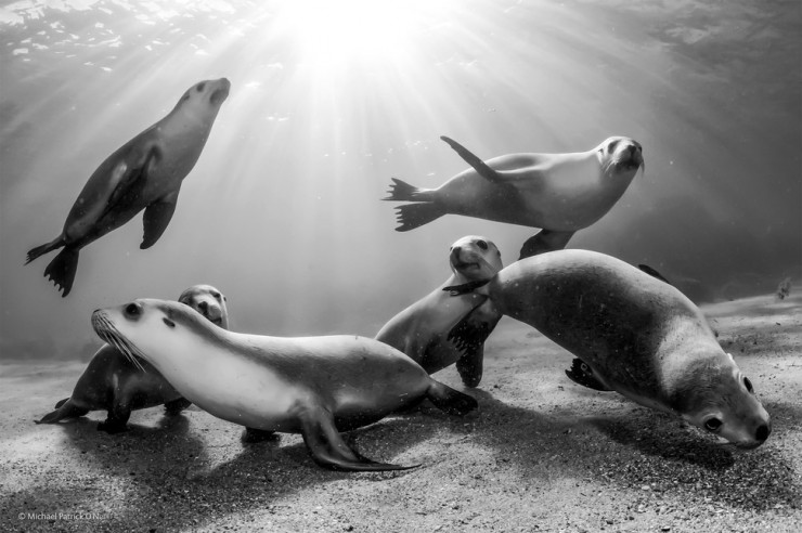 'Australian Sea Lion Pups' by Michael Patrick O'Neill