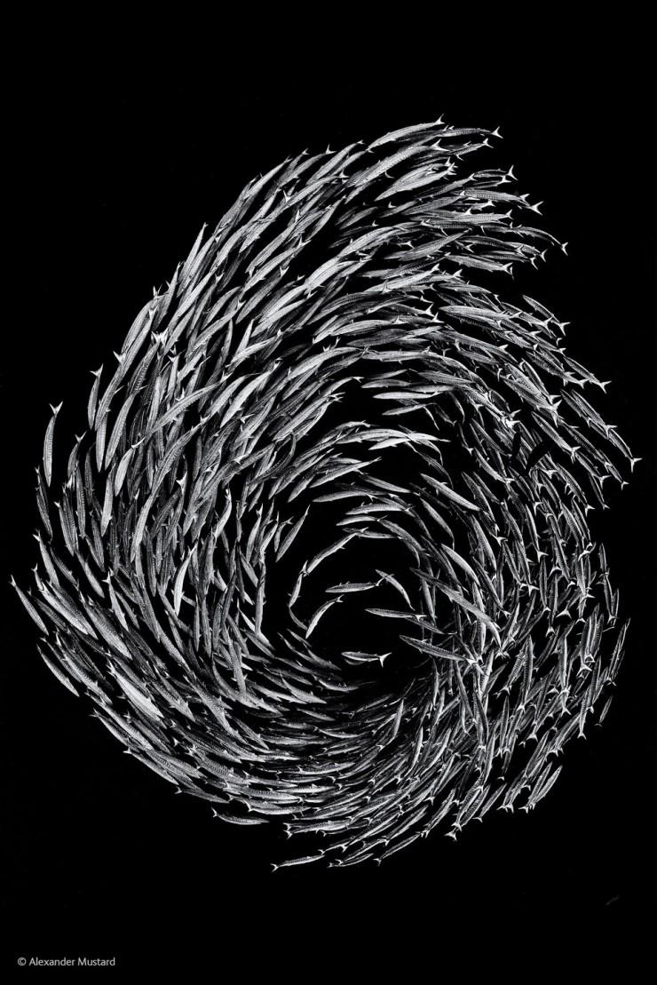 'Barracuda Swirl' by Alexander Mustard