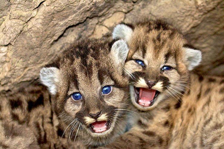 mountain lion cubs 01.