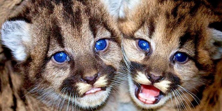 mountain lion cubs 02.