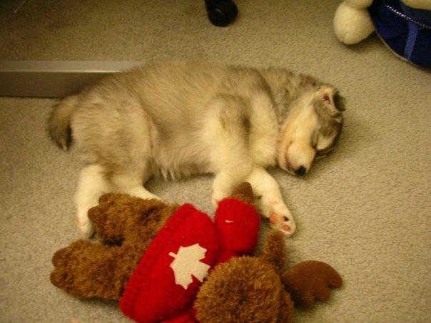 Siberian Husky Raised By Cats 08.