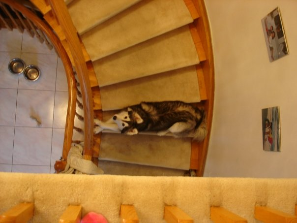 Siberian Husky Raised By Cats 03.