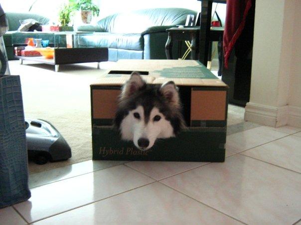 Siberian Husky Raised By Cats 07.