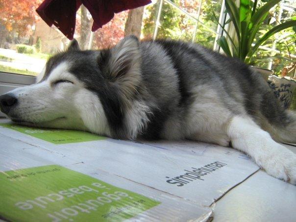 Siberian Husky Raised By Cats 10.
