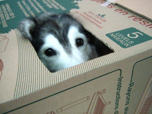 Siberian Husky Raised By Cats 01.