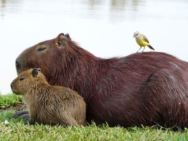 Capybara are a member of the genus Hydrochoerus - 06.