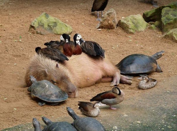 Capybara are a member of the genus Hydrochoerus - 08.