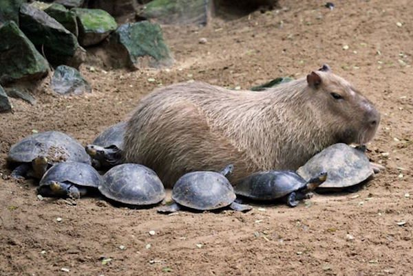 Would Capybaras Make A Good Exotic Pet - 01.