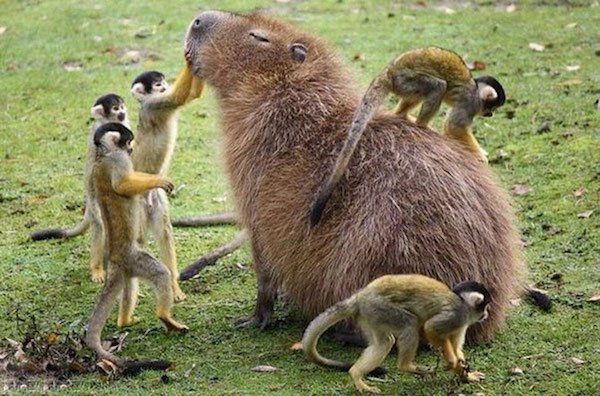Capybara are a member of the genus Hydrochoerus - 02.