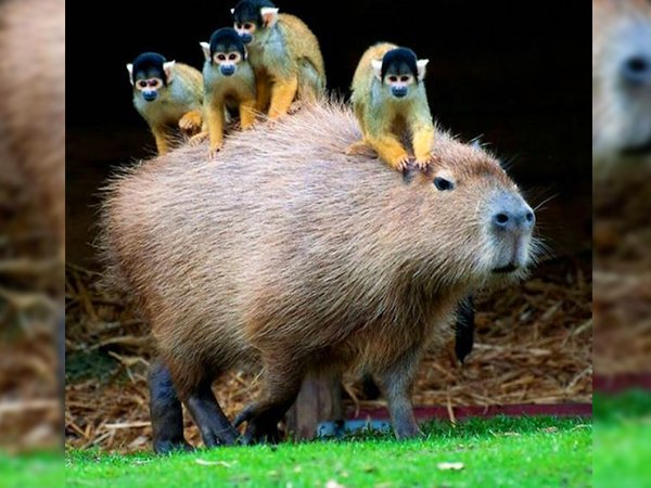 Would Capybaras Make A Good Exotic Pet - 03.