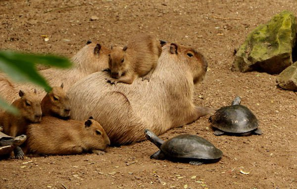 Capybara are a member of the genus Hydrochoerus - 04. width=