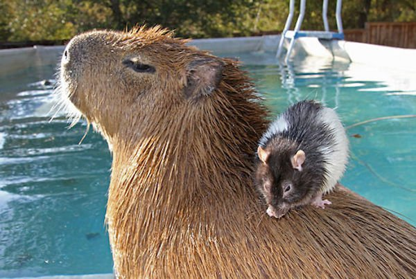 Would Capybaras Make A Good Exotic Pet - 04.