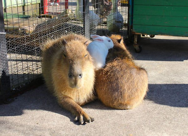 Would Capybaras Make A Good Exotic Pet - 05.
