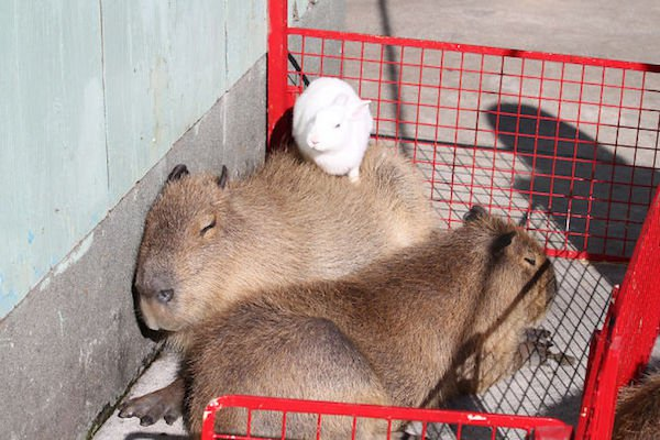 Would Capybaras Make A Good Exotic Pet - 06.