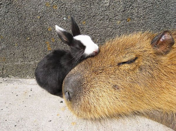 Would Capybaras Make A Good Exotic Pet - 07.