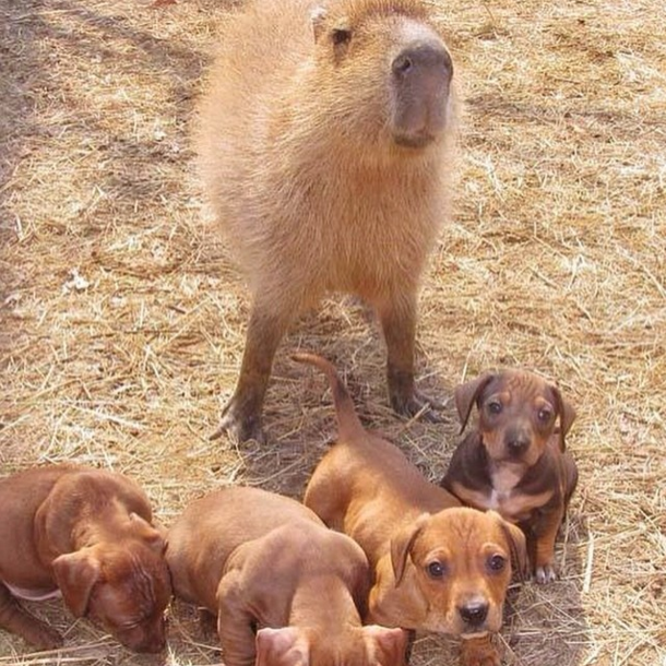 Would Capybaras Make A Good Exotic Pet - 10.