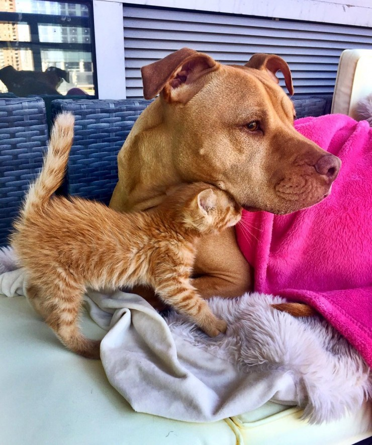 dog-likes-cats-ginger-pit-bull-bubba-loves-rue-14