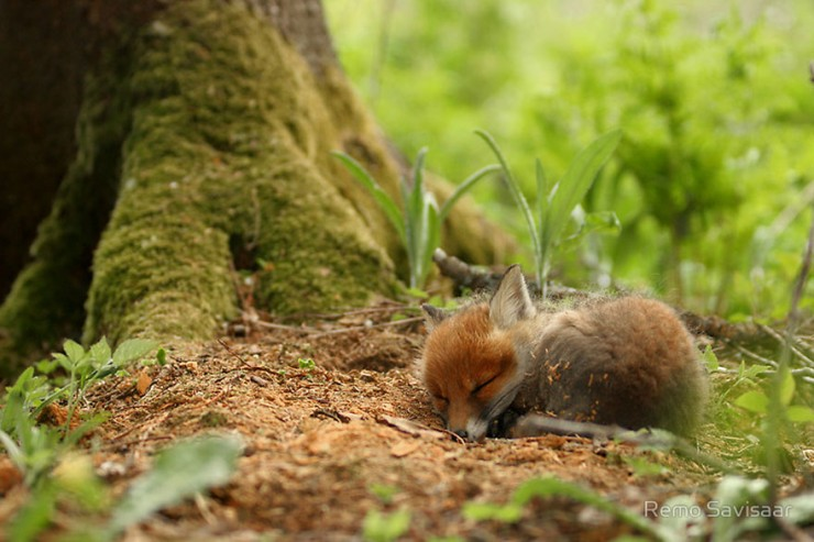 cute-baby-foxes-4-57443697637