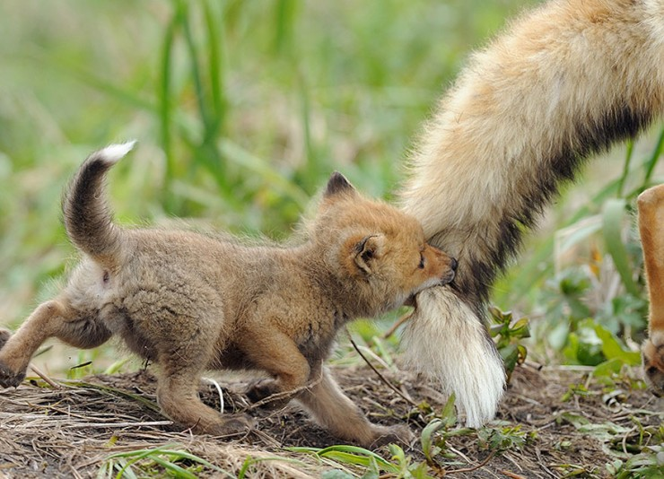 cute-baby-foxes