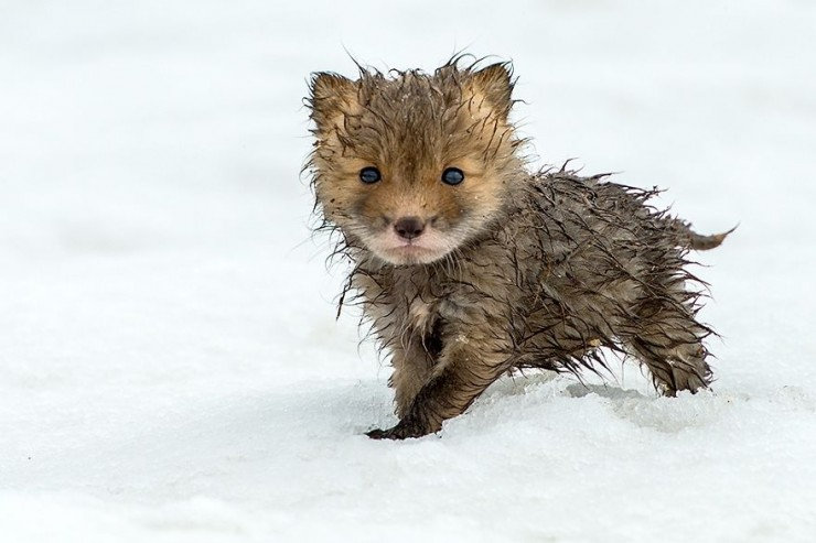 cute-baby-foxes-8-574436a046464__880ss