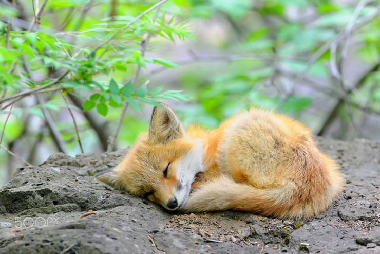 cute-baby-foxes-cubs-17-574436be67482__880mmmm