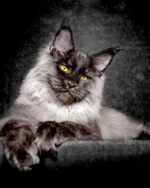 The Majesty Of A Maine Coon Cat - 02.