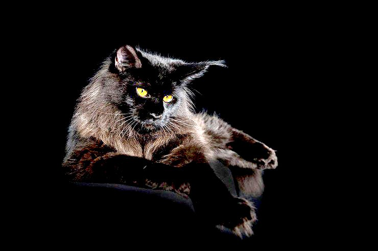 The Majesty Of A Maine Coon Cat - 03.
