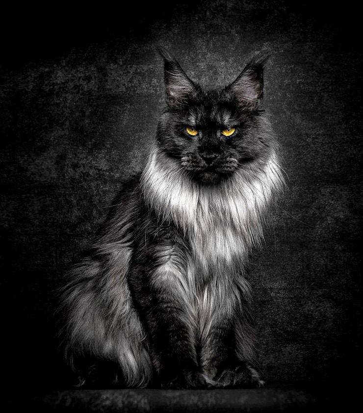 The Majesty Of A Maine Coon Cat - 04.