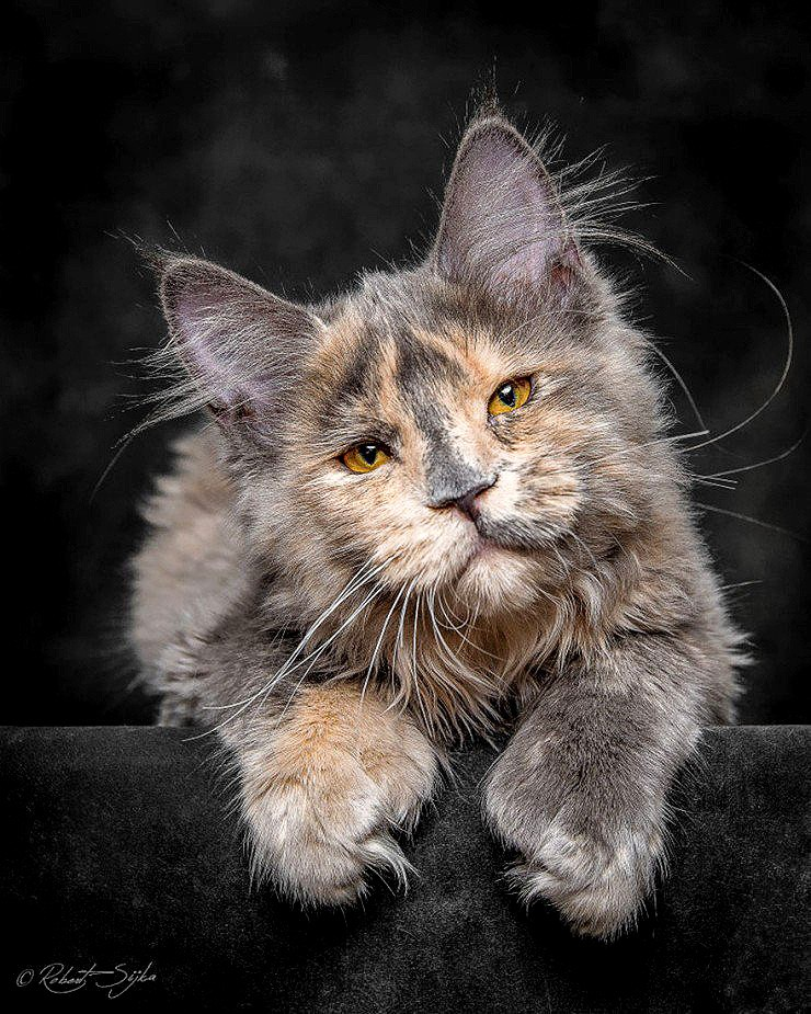 The Majesty Of A Maine Coon Cat - 05.