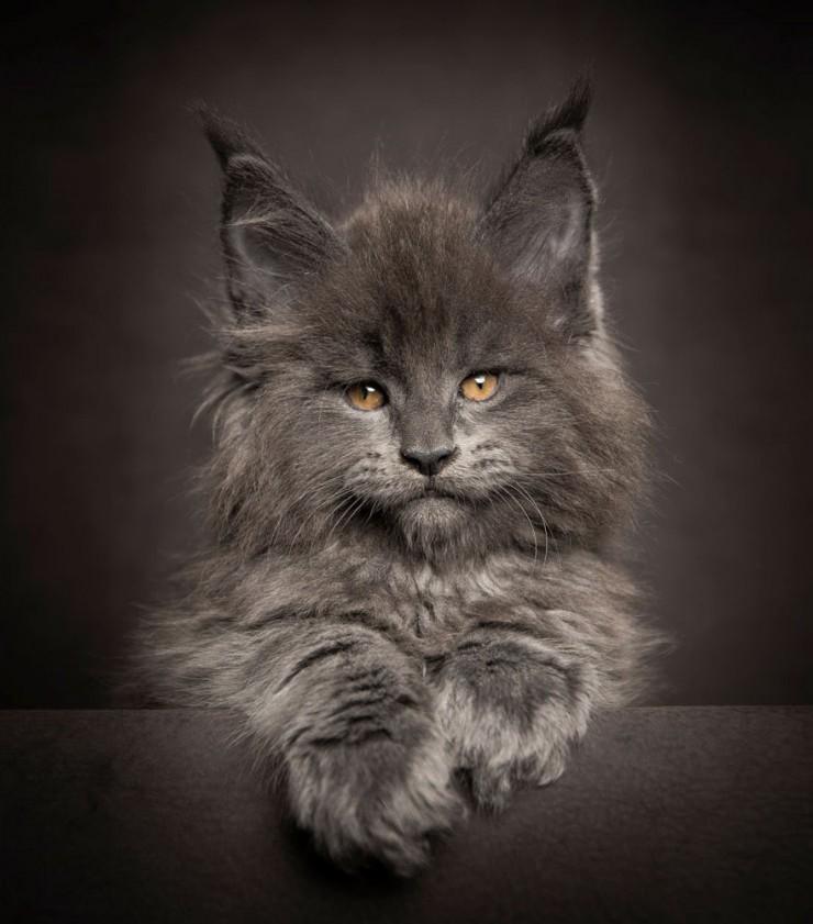 Robert Sijka Maine Coon Cat Photos - 01.